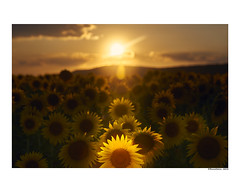(david Ramalleira) Tags: davidramalleira davidramalleiraphotography nikon sunflower sunflowers sunset summer landscape landscapes luz light guadalajara sol landcape paisaje paisajes girasol girasoles amarillo yellow plantas plants planta plant