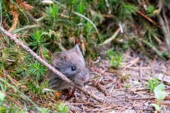Common vole (Corine Bliek) Tags: zoogdier zoofdieren mammal mammals wildlife nature natuur muizen mice woodlands woods bos bossen zoogdieren muis mouse herfst autumn microtusarvalis