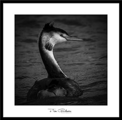 Its all in the curve of the neck! (timgoodacre) Tags: grebe greatcrestedgrebe water wildbird waterbird waterfowl waterdrops animal animalportrait nature nationalgeographic natural ngc bird birds birdportrait birdlife blackwhite blackandwhite monochrome mono