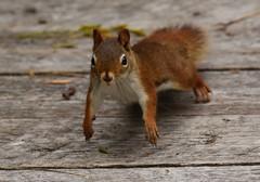 On the run! (janagoss32) Tags: cooper'smarsh cornwallontario september2018 fall running redsquirrel