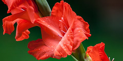 Gladiola in red to the left (Traveller_40) Tags: 300mm background beautiful beauty bloom blooming blossom bokeh botanical bright closeupmacro closeup color colorful delicate dof floral flower focal fragility fresh garden garten gladiola gladiolas gladiolen gladiolus green left lenght macro natural petal plant red season smooth used very
