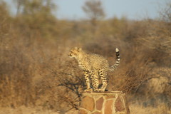 Cheetah (Rckr88) Tags: krugernationalpark southafrica kruger national park south africa cheetah cheetahs animals animal bigcat nature outdoors wildlife