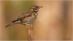 Redwing - Koperwiek (Gertj123) Tags: birds bokeh brown avian animal arjantroost hide holterberg canon sigma120300mmf28 autumn netherlands nature