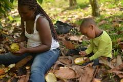 Cacao, Monte Plata, Dominican Republic (claire dal nogare) Tags: dominicanrepublic dr dominican caribbean caribe island islandlife tropical peacecorps peacecorpsdominicanrepublic peacecorpsvolunteer cacao chocolate agricultute coco cocobean
