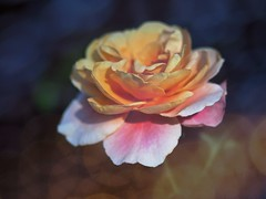dreaming Rose (Kito K (fxkito2)) Tags: japan tokyo autumn macro flower omd rose bokeh nature closeup lumix fineart olympus color dof