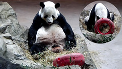 Tian Tian (I gotta take a breather after wolfing down those biscuits.) 2018-10-07 at 10.35.11 & 10.37.38 AM (MyFoto:)) Tags: ccncby panda endangered vulnerable smithsonian nationalzoo eating licking biscuit donut