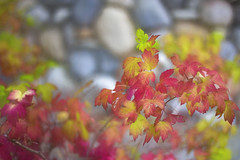 Autumn watercolor (Karon Elliott Edleson) Tags: autumn watercolor painting fall fallcolors flora leaves macro season topaz canon