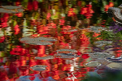 Buchart Lily Pads (josullivan.59) Tags: 2018 artistic bc britishcolumbia buchart canada dof october tamron150600 vancouverisland abstract blur colors day detail evening garden nature outdoor outside pond red reflection ripples surfacetension telephoto texture wallpaper water