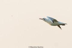 gabbiano (maqui_photo_fusion) Tags: canon eos 7d mkii 100400lismkii gabbiano comune insetto lido venezia