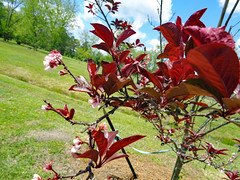 Crimson Pointe Purple Leaf. (dccradio) Tags: lumberton nc northcarolina robesoncounty outdoor outdoors outside plant crimsonpointepurpleleaf tree floweringtree april spring springtime saturday afternoon goodafternoon grass grassy greenery lawn ground maroon maroonleaf maroonleaves leaf leaves flower flowering blossoms blossom bloom pink pinkflower treebranch branch branches treebranches sky clouds bluesky cloud trees foliage pretty beauty beautiful nature natural scenic sony cybershot dscw830