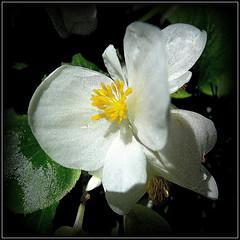 Natural Wonder (dimaruss34) Tags: newyork brooklyn dmitriyfomenko image flower begonia
