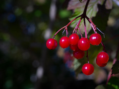 Berries (Cliff Potts) Tags: sony a7ii manualfocus vintagelens nikkor nikonais55micro macro northdown crawfordsburn