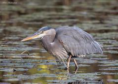 Great Blue Heron (sbuckinghamnj) Tags: garretmountain garretmountainreservation greatblueheron heron