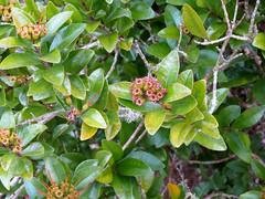 Scarlet Rātā (treegrow) Tags: newzealand moana lakebrunner nature lifeonearth plant angiosperms metrosiderosfulgens taxonomy:binomial=metrosiderosfulgens myrtaceae