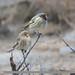 Twite (Carduelis flavirostris) & Fire-fronted Serin (Serinus pusillus)