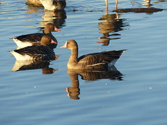 Greater White-Fronted Geese at Colusa (Joachim Gonzalez) Tags: gwfg greaterwhitefrontedgoose anseralbifrons