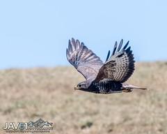 Buzzard (Buteo buteo)-2568 (George Vittman) Tags: bird raptor mountains auvergne france nikonpassion wildlifephotography jav61photography jav61 fantasticnature