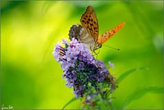 LSD (Luciano Silei - sky7) Tags: argynnispaphia butterfly nature closeup macro oldlens vintagelens m42 manualfocus canon7d zenit tair11a lucianosilei bokeh