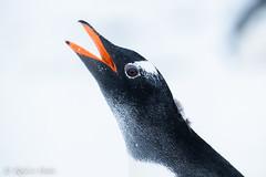 Pingüino papua (robertopastor) Tags: antarctica antarctique antarktika antartic antártida fuji mikklesenharbor puertomikklesen robertopastor trinityisland xt2 xf100400 islatrinidad aq