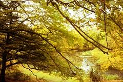Autumn (BigCam2013) Tags: gosford estate gosfordestate aberlady scotland autumn autumntrees autumnleaves autumnalcolours reflection reflections golden autumngold