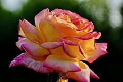 Rose (prokhorov.victor) Tags: цветы цветок растения флора сад лето макро