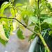 Row 7 Seed Co - Habanada Pepper