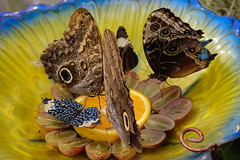 Butterflies feeding (Stephen G Nelson) Tags: insect butterfly botanicalgarden tropical