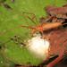 Long-jawed Tetragnatha - Tetragnatha species, Lake June-in-Winter Scrub State Park, Lake Placid, Florida