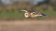 Short-eared Owl (image 3 of 3) (Full Moon Images) Tags: wildlife nature bird birdofprey flight flying cambridgeshire fens shorteared owl short eared seo