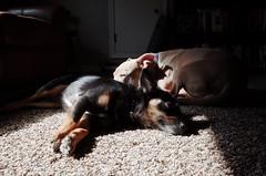Sunspot (dpenn202) Tags: dog jackrussell chihuahua pitbull sunny sunspot