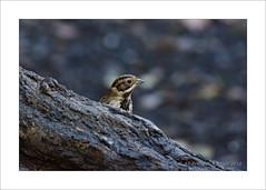 Bunting Hiding (prendergasttony) Tags: nature tree head nikon d7200 wildlife bunting hide