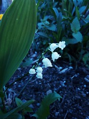 Lily of the valley (msergeevna) Tags: prestigio flower kukkia ландыш цветы forest лес nature