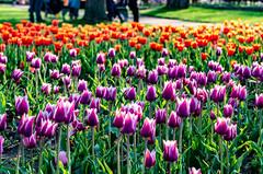 NJH_7758 (norjam8) Tags: tulipfestival tuliptime flowers tulips
