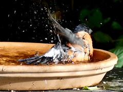 Saturday is bathday (BrigitteE1) Tags: gimpel bullfinch pyrrhulapyrrhula dompfaff maleeurasianbullfinch vogelbad birdbath vogel bird