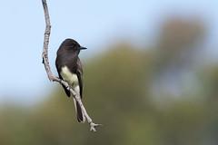 Black Phoebe (Melissa James Photography) Tags: sayornisnigricans blackphoebe birdsofcalifornia perchedbird flycatcher phoebe nikond500 nikon300f4 14teleconverter