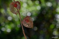 1-DSC_2742-001 my physalis in a bokeh garden (profmarilena) Tags: bokeh physalis closeup macro summer profmarilena