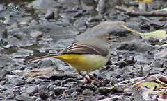 Grey wagtail at the edge of the water. 2/10/18 (vickyouten) Tags: greywagtail wagtail bird nature wildlife penningtonflash leigh canon canon1300d vickyouten