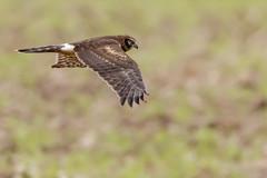 Northern Harrier (Kevin E Fox) Tags: northernharrier harrier bombayhookwildliferefuge bombayhook delaware bird birding birdwatching birds birdofprey nature nikond500 nikon sigma150600sport sigma