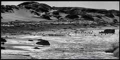 Elephant Seals & Birds (greenschist) Tags: 6x12 dunes beach panoramic pacificocean birds blackwhite seals elephantseals