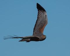 Spotter Harrier (Jeff_Warner) Tags: birdsofpray birds birdsinflight oly300mmf4 olyem1mkii nature spottedharrier