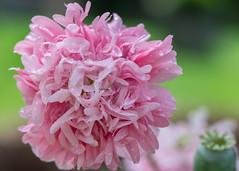 Pale Rose Poppy Flower (billcoo) Tags: 6d2 6dii 2 bokeh plant garden pink