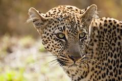 Leopard portrait (paolo_barbarini) Tags: leopard kenya masaimara cats felines wildlife animals nature