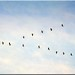Die Kraniche fliegen wieder gen Süden! - The cranes fly again to the south