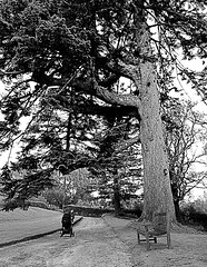 Under a Towering Tree (matthewblackwood10) Tags: tree trees tall towering high pram wife baby stroller path bench brodick castle scotland uk ayrshire bark walk peaceful quiet