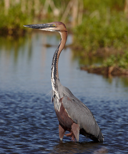 "Goliath Heron, Ardea goliath at Marievale Nature Reserve, Gauteng, South Africa • <a style=""font-size:0.8em;"" href=""http://www.flickr.com/photos/93242958@N00/30559502317/"" target=""_blank"">View on Flickr</a>"