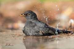 Merle noir au bain (sfrancois73) Tags: oiseau jardin affût merlenoir drinkstation faune