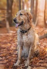 Bailey (Rainfire Photography) Tags: dog goldenretriever fall autumn nature forest outdoors colours nikon
