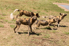 IMG_8862 (kijani_lion) Tags: red lion safari park african wild dog south africa