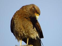 Chimango (Gabi Lamberti) Tags: canon sx540hs argentina nature wild life chimango predator jpeg