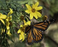 MonarchButterfly_SAF7520-2 (sara97) Tags: danausplexippus butterfly copyright©2018saraannefinke endangered insect missouri monarch monarchbutterfly nature photobysaraannefinke pollinator saintlouis